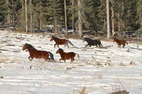 Thumbnail for 2014 Alberta Wild Horse Cull is Over