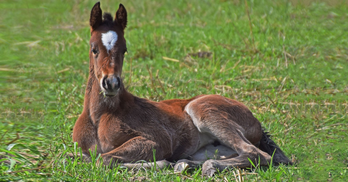 Thumbnail for Key Reason for Equine Pregnancy Loss Identified by RVC Research